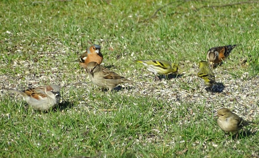 2018-04-06 Lüchow, Vögel im Garten, Haussperlinge+Buchfinken+Erlenzeisige+Bergfink